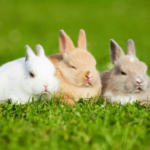 How long do rabbits liveat home as pets?